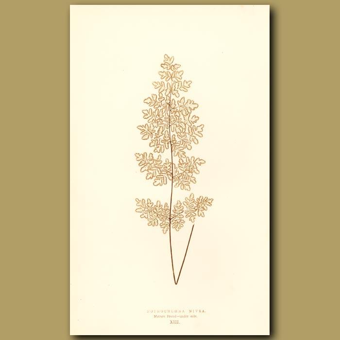 Antique print. Snowy Fern