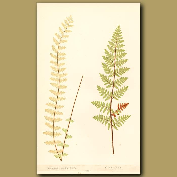 Antique print. Delicate Fern