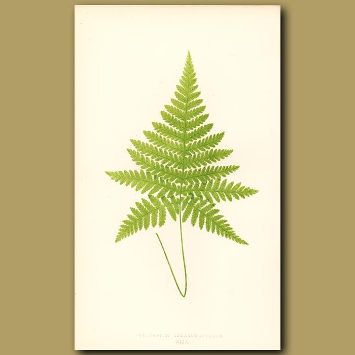 Antique print. Broad Beech Fern