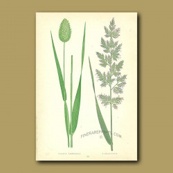 Cultivated and Reed Canary Grasses