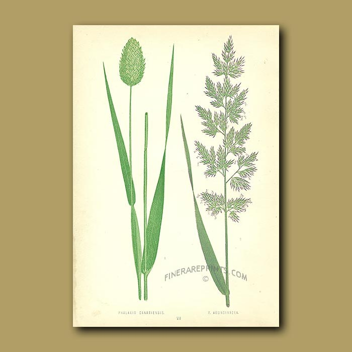 Antique print. Cultivated and Reed Canary Grasses