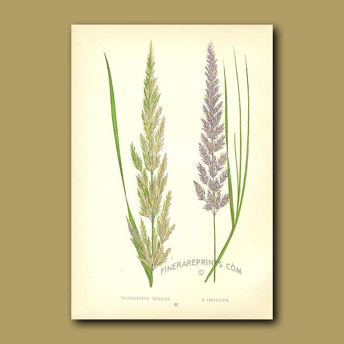 Antique print. Wood Reed and Purple-flowered Small Reed
