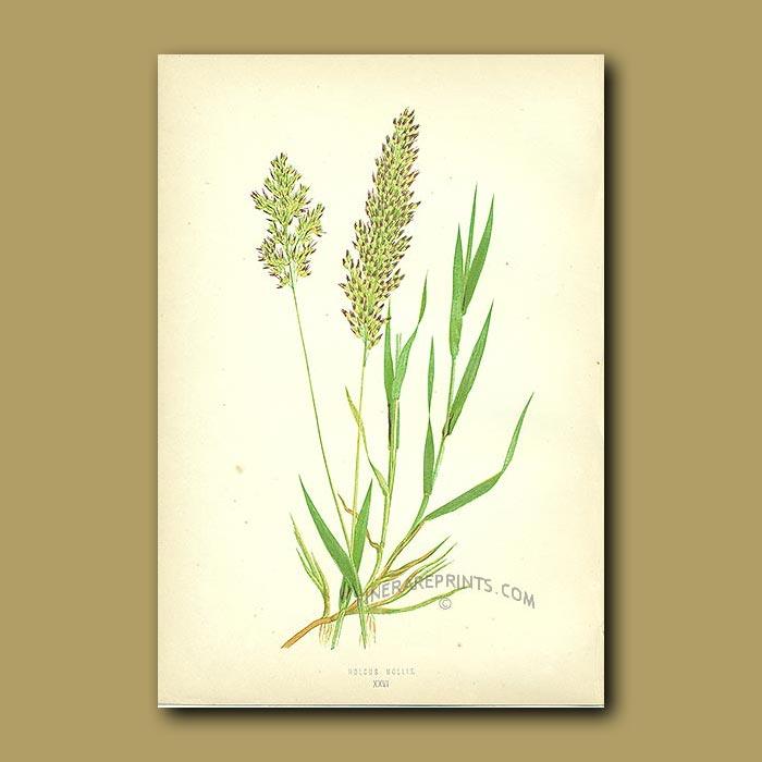 Antique print. Creeping Soft Grass