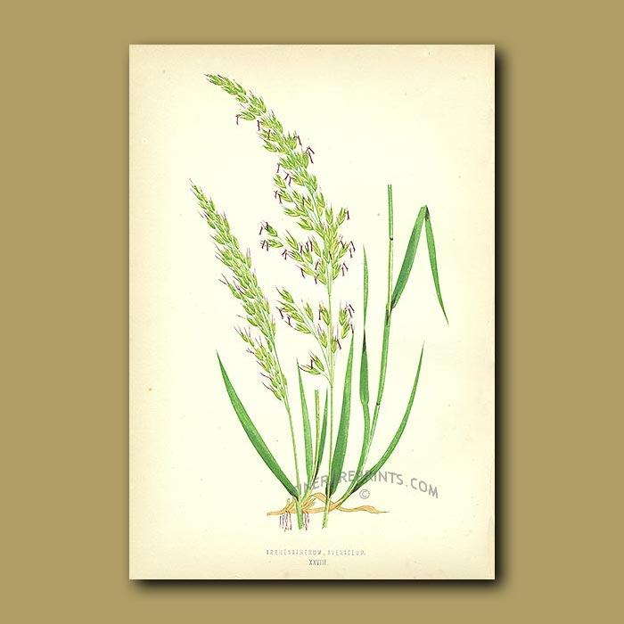Antique print. Oat-like Grass