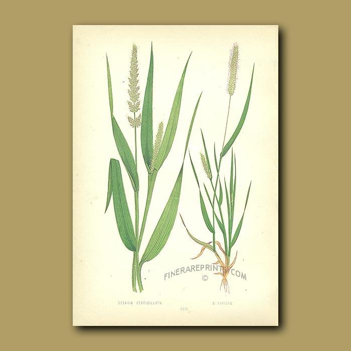Antique print. Reflex and Green Bristle-grass