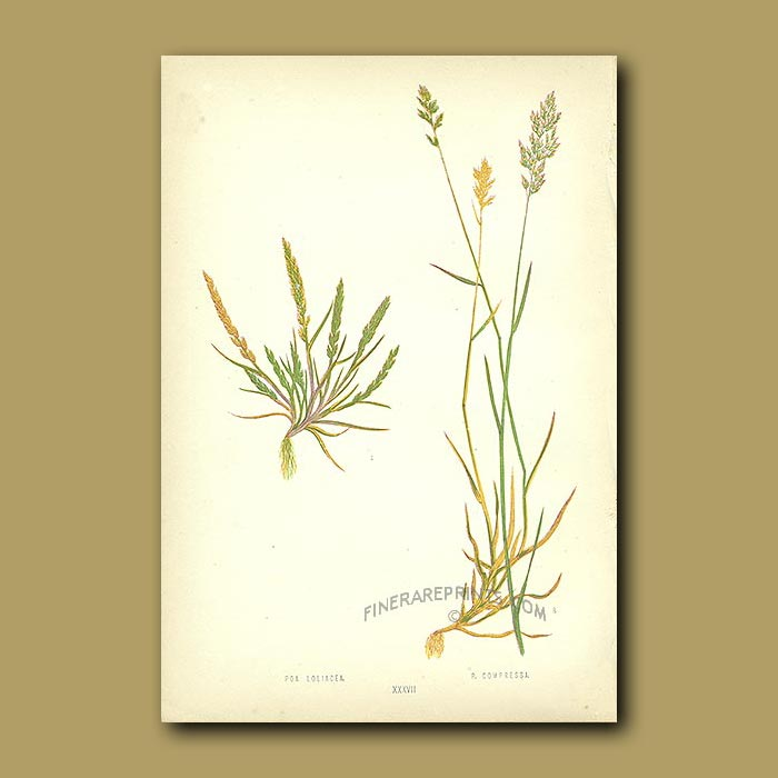 Antique print. Dwarf Wheat and Flat-stemmed Meadow-grass