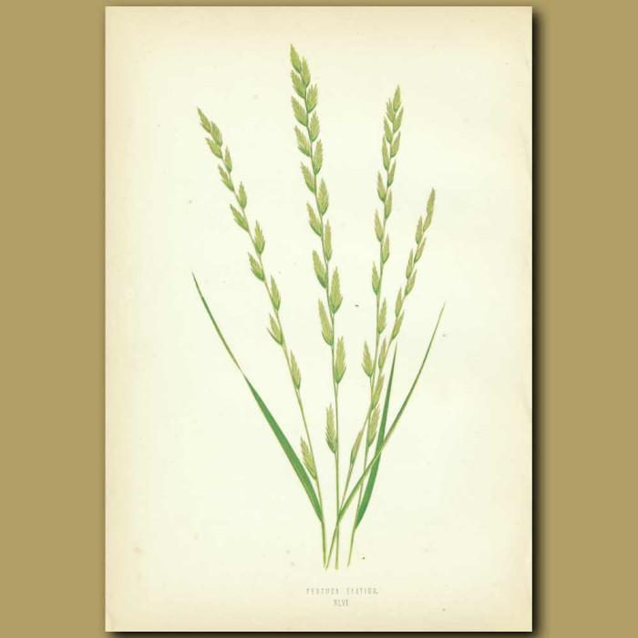 Antique print. Tall Fescue Grass