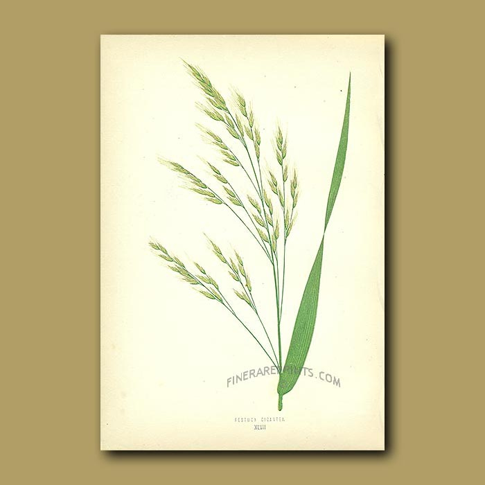 Antique print. Tall Bearded Fescue Grass