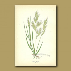 Upright Oat-grass