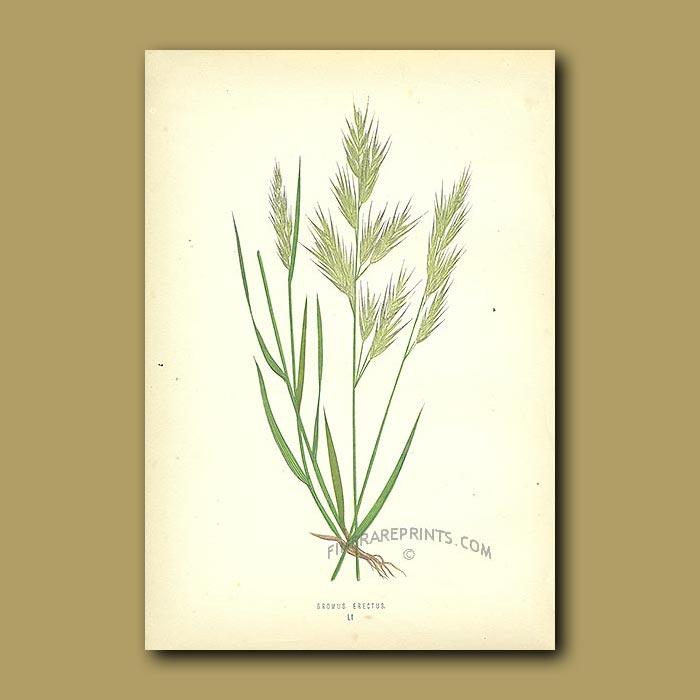 Antique print. Upright Oat-grass