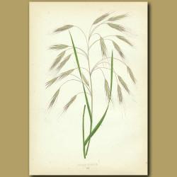 Barren Brome Grass