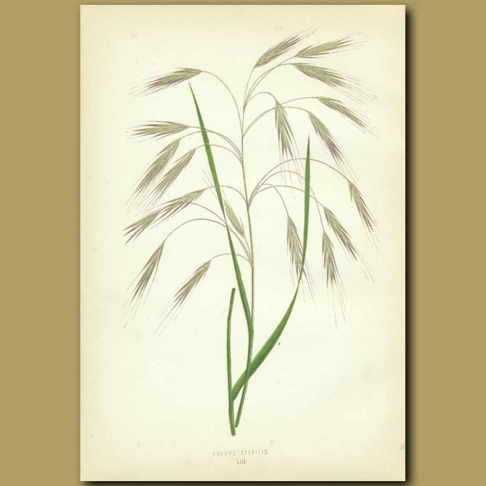 Antique print. Barren Brome Grass