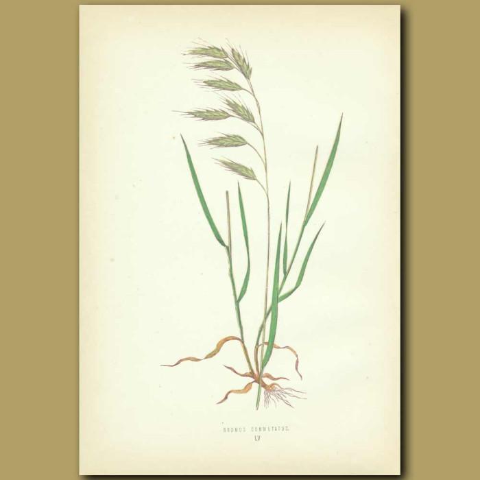 Antique print. Tumid Field Brome-grass