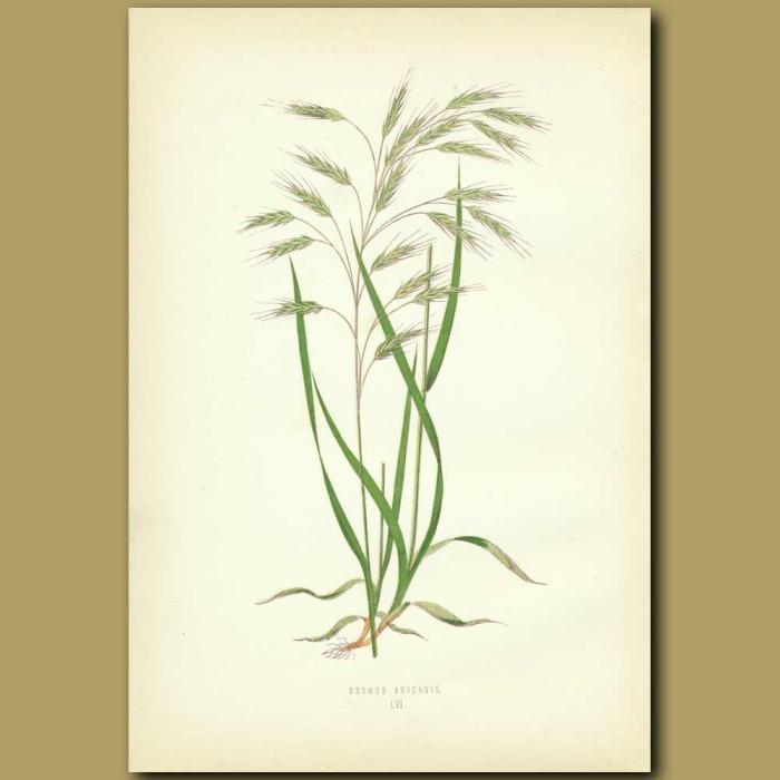 Antique print. Taper Field Brome-grass