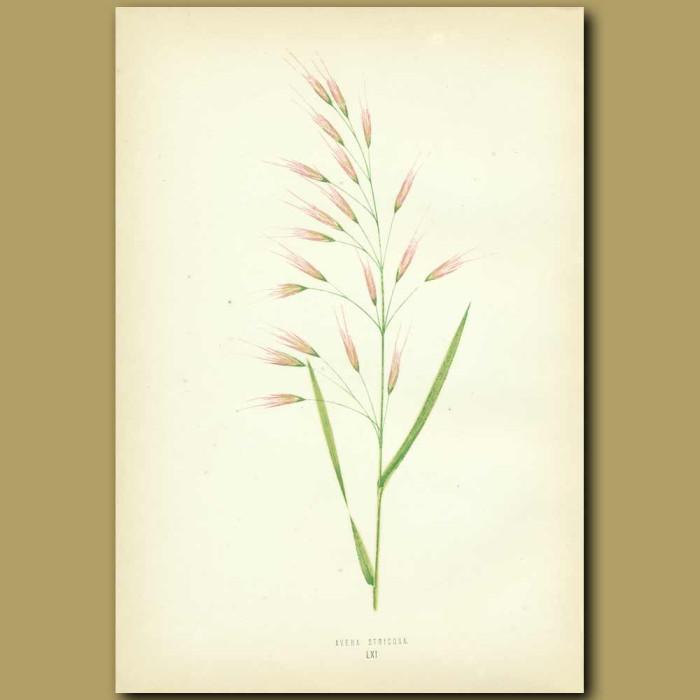 Antique print. Bristle-pointed Oat-grass
