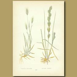 Sea-side Barley and Rushy Sea Wheat-grass