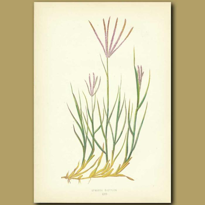 Antique print. Creeping Finger Grass
