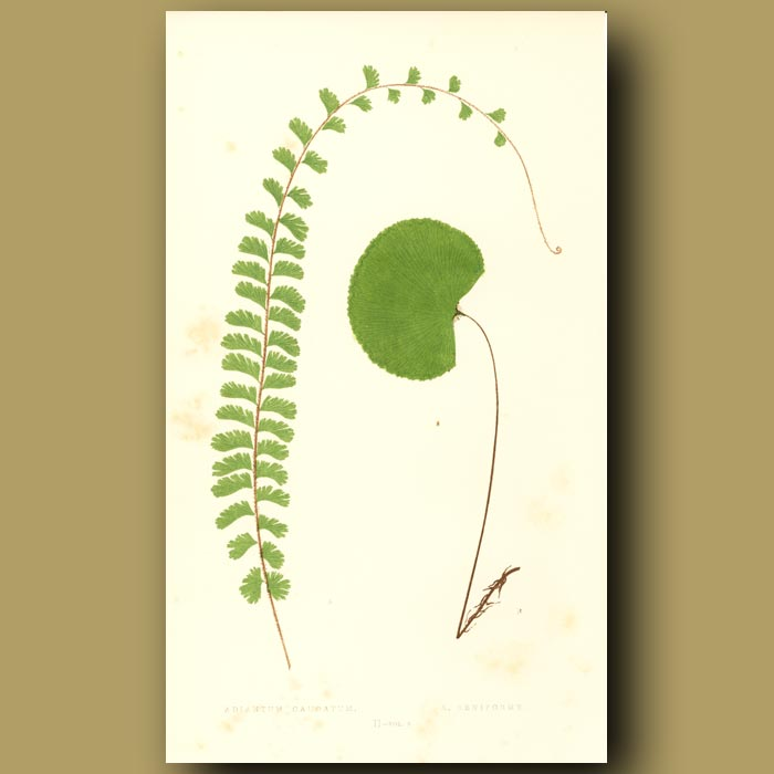 Antique print. Trailing Maidenhair and Lotus Leaved Ferns