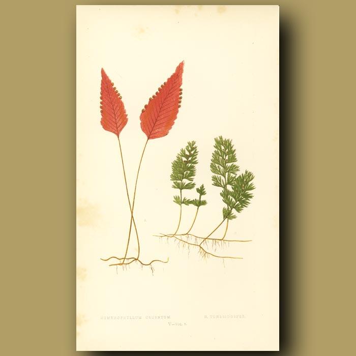 Antique print. Chilean Fern