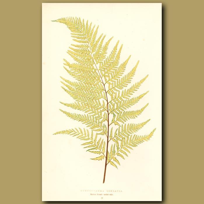 Antique print. Yellow Fern