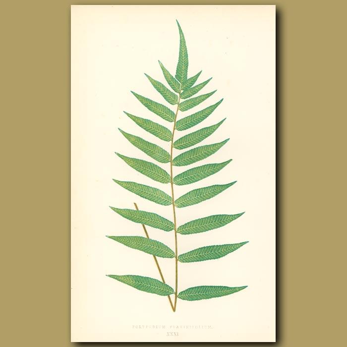 Antique print. Ash-leaved Polypody Fern