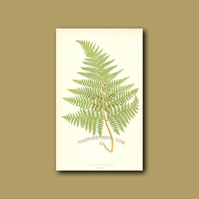 Antique print. Downy-footed Polypody Fern