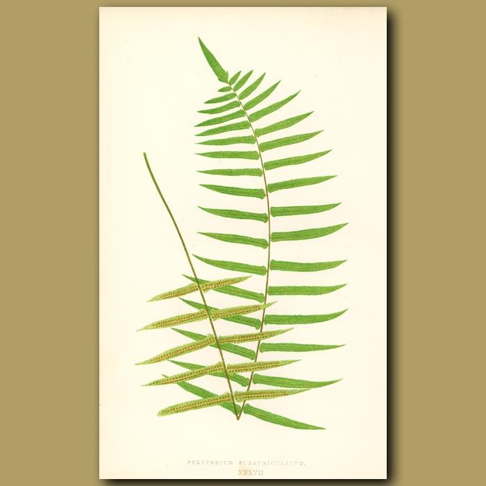 Antique print. Oak Fern Fern
