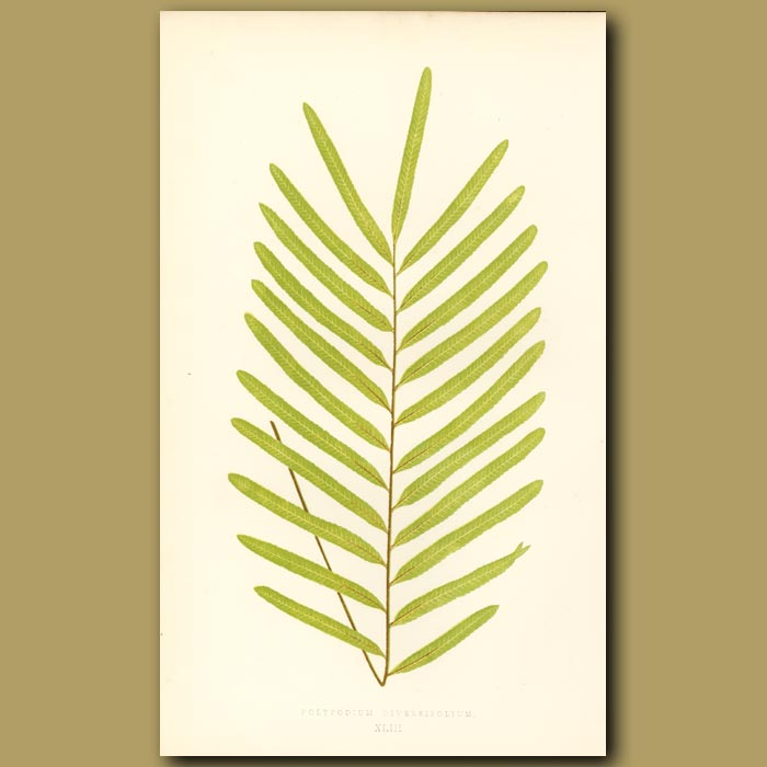 Antique print. Various leaved Polypody Fern