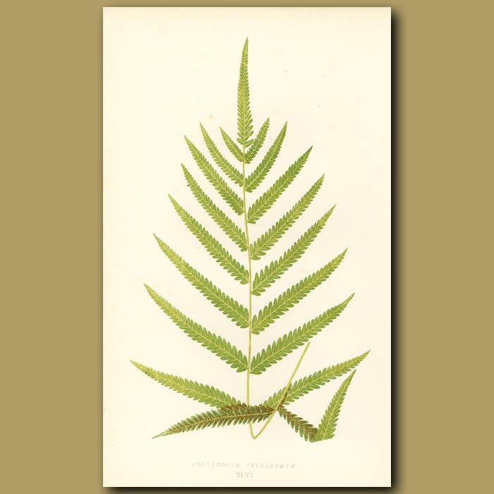 Antique print. Four-angled Polypody Fern