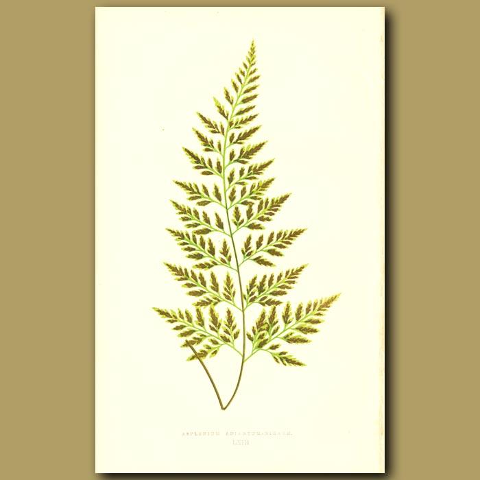 Antique print. Black Maiden-hair Spleenwort