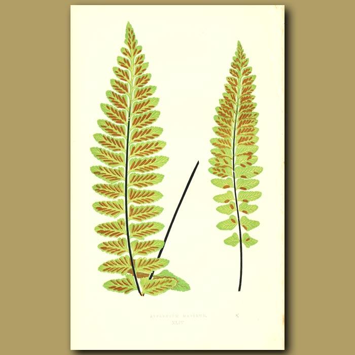 Antique print. Sea Spleenwort