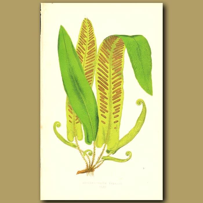 Antique print. Common Hart's Tongue Fern