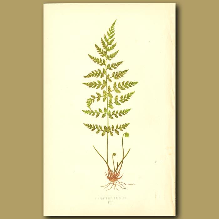 Antique print. Brittle Bladder Fern