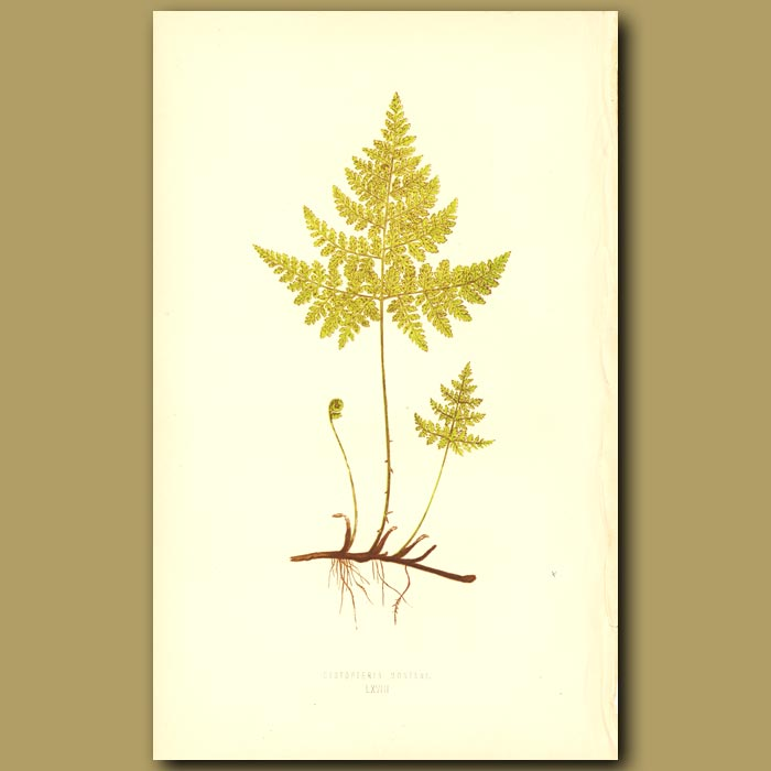 Antique print. Mountain Bladder Fern