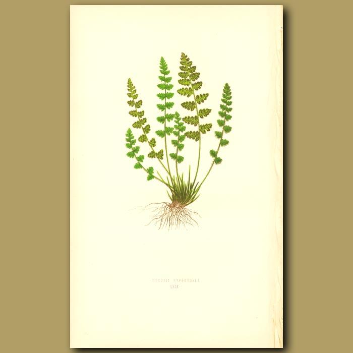 Antique print. Alpine Woodsia