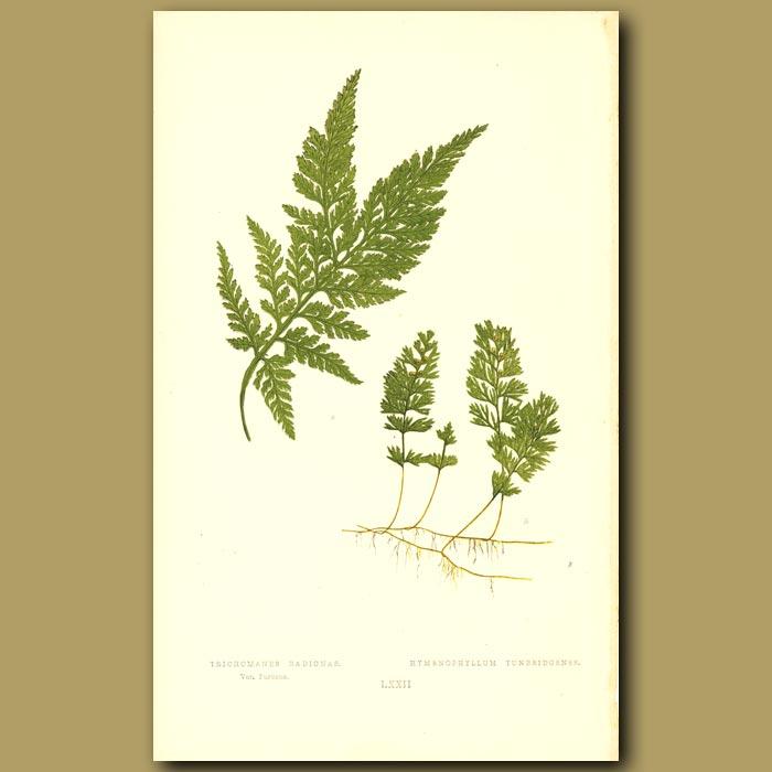 Antique print. Bristle Fern