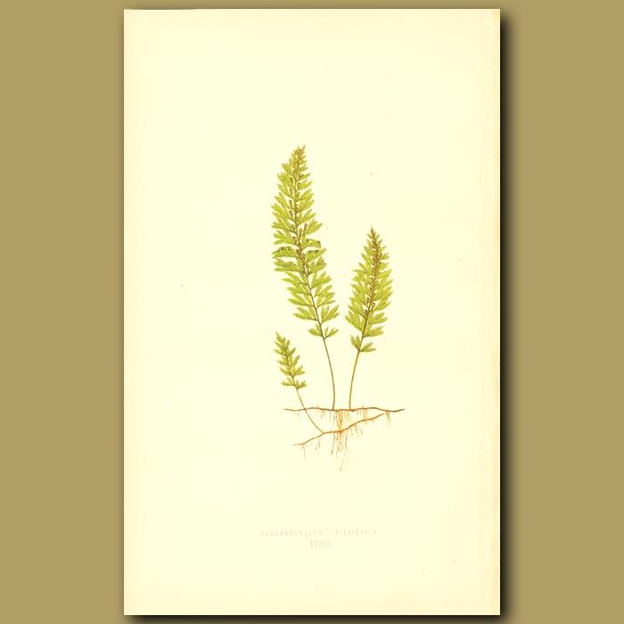 Antique print. Wilson's Film Fern