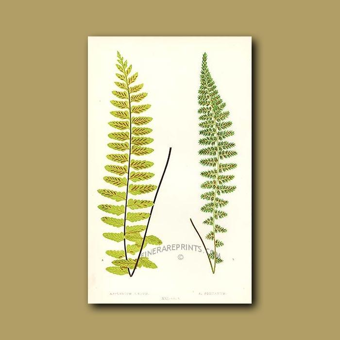 Antique print. Pair of ferns