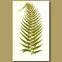Tailed Spleenwort Fern