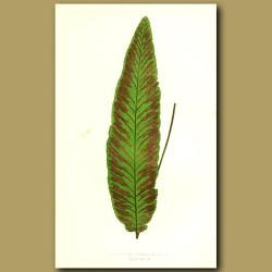 Plantain Leaved Fern