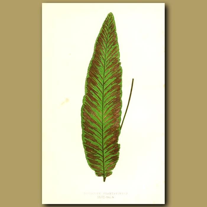 Antique print. Plantain Leaved Fern
