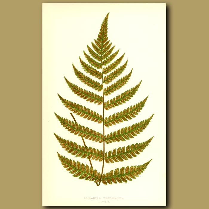 Antique print. Double Cross Fronded Fern