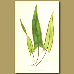 Spear Leaved Fern