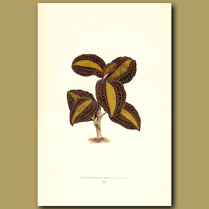 Antique print. Anoectochilus orchid