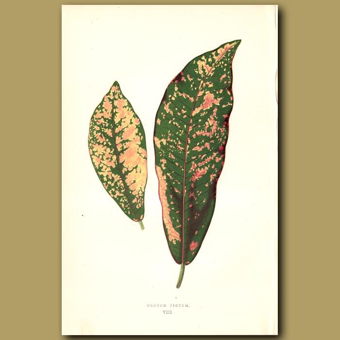 Antique print. Croton pictum