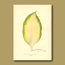 Funkia sieboldiana variegata