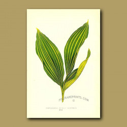 Lily of the Valley, Convallaria majalis variegata