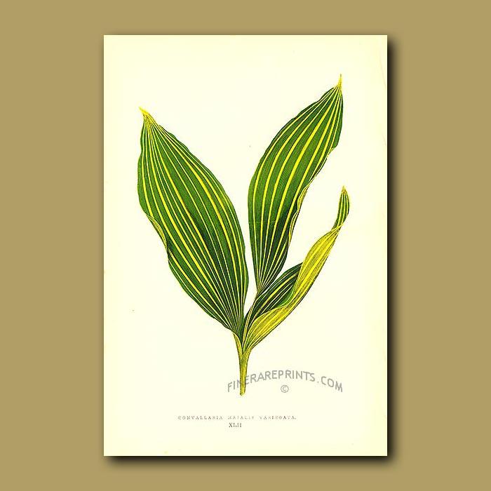 Antique print. Lily of the Valley, Convallaria majalis variegata
