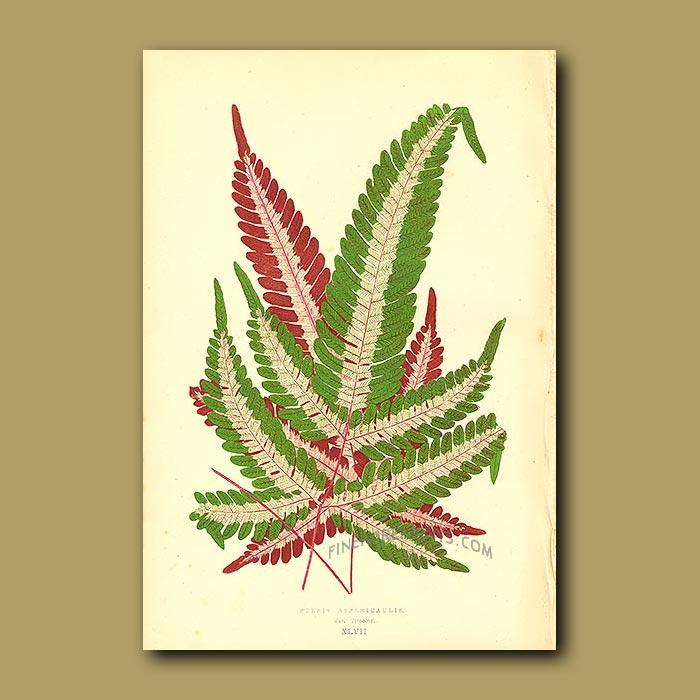 Antique print. Pteris aspericaulis