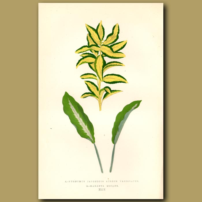 Antique print. Golden Striped Japanese Spindle Tree